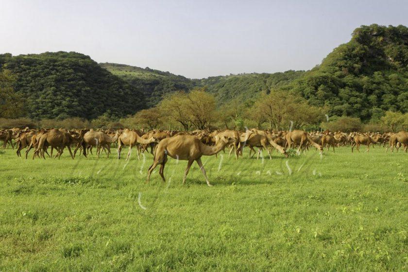 Wadi Darbat Camels top 5 things to do in June in Oman