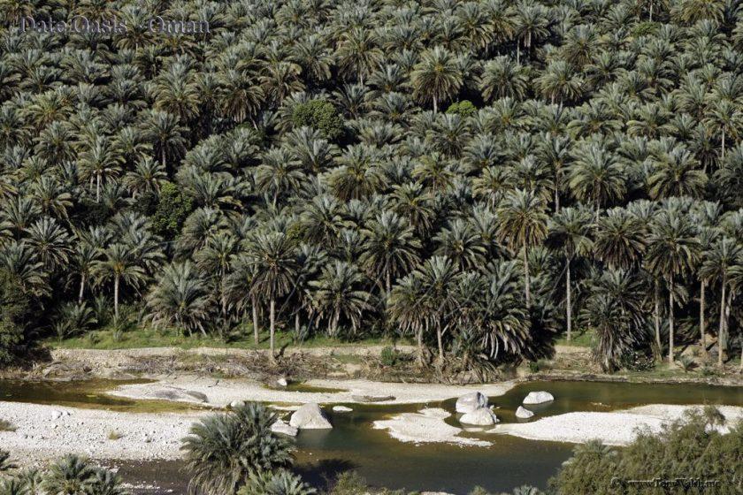 Date Oasis - Oman