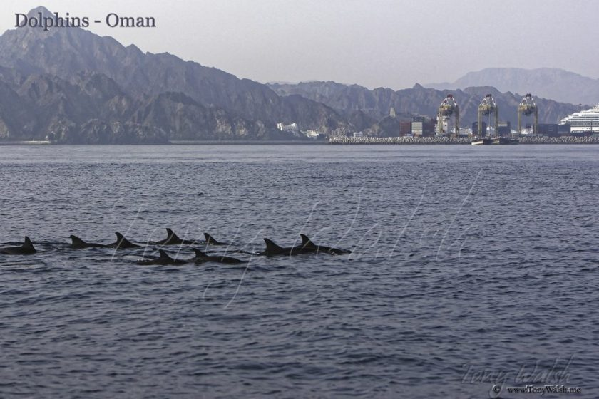 Dolphins - Oman