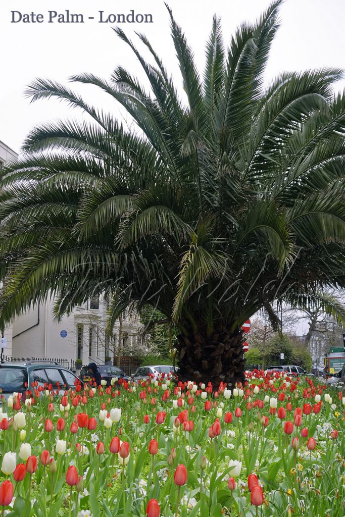 Date Palm - London