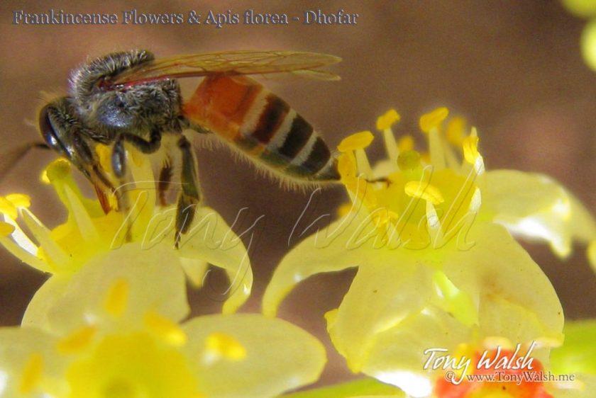Frankincense Flowers & Apis florea - Dhofar