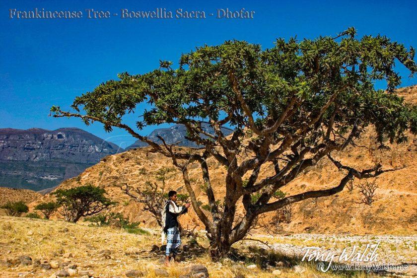 Frankincense Tree Boswellia Sacra Dhofar