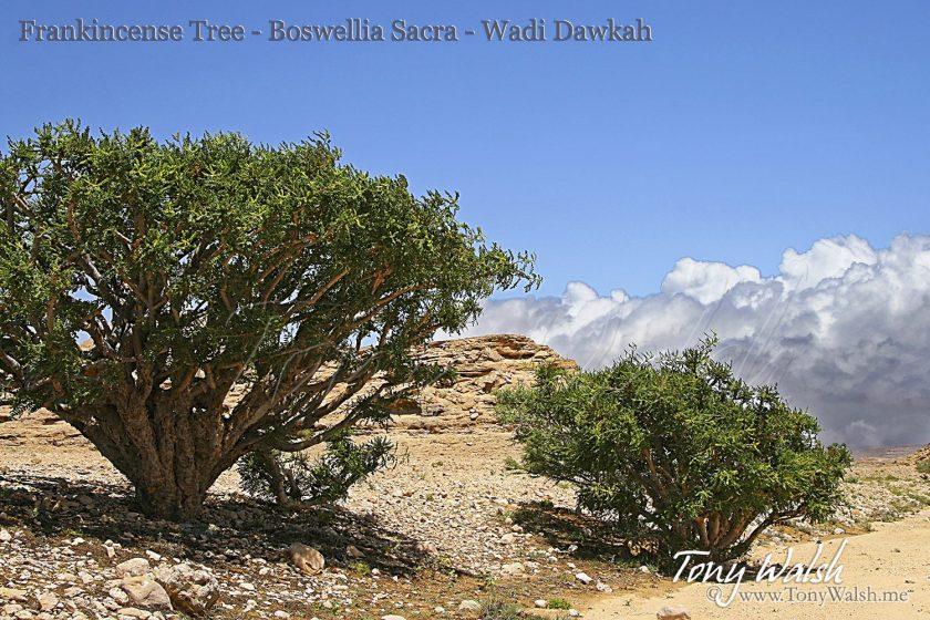Frankincense Tree - Boswellia Sacra - Wadi Dawkah