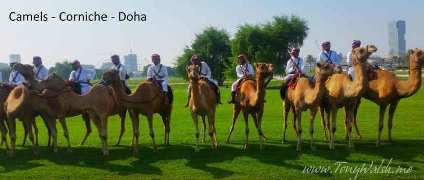 Camels Corniche Doha