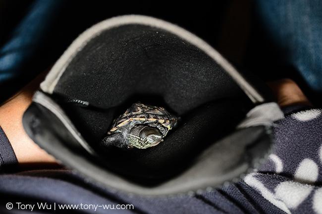 Sleeping Mauremys reevesii turtle