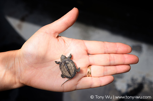 Mauremys reevesii turtle a few days old