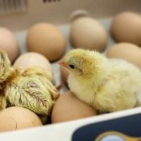 Las 6 Mejores Incubadoras de Huevos