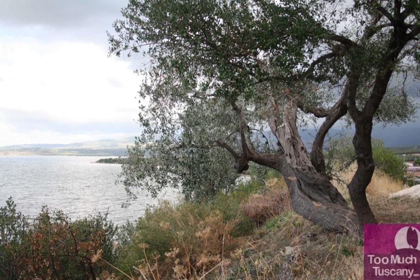 Centuries-old olive tree at Varano Lake