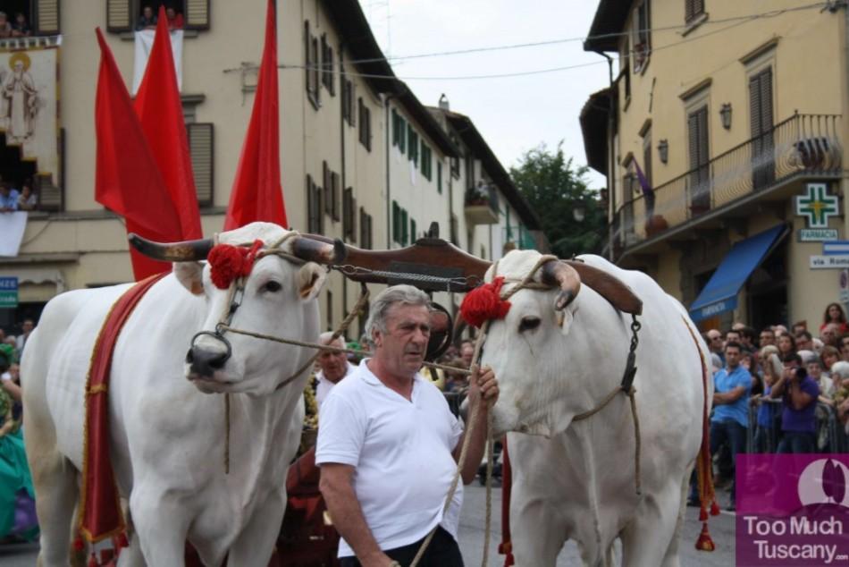 Oxes at Festa dell'Uva
