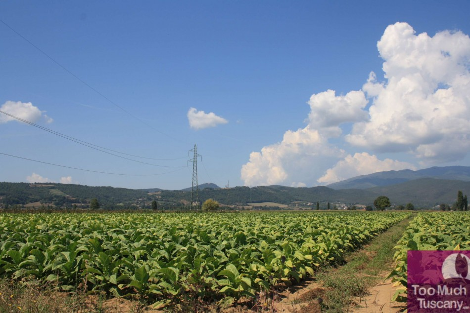 Tobacco plantation in Valtiberina