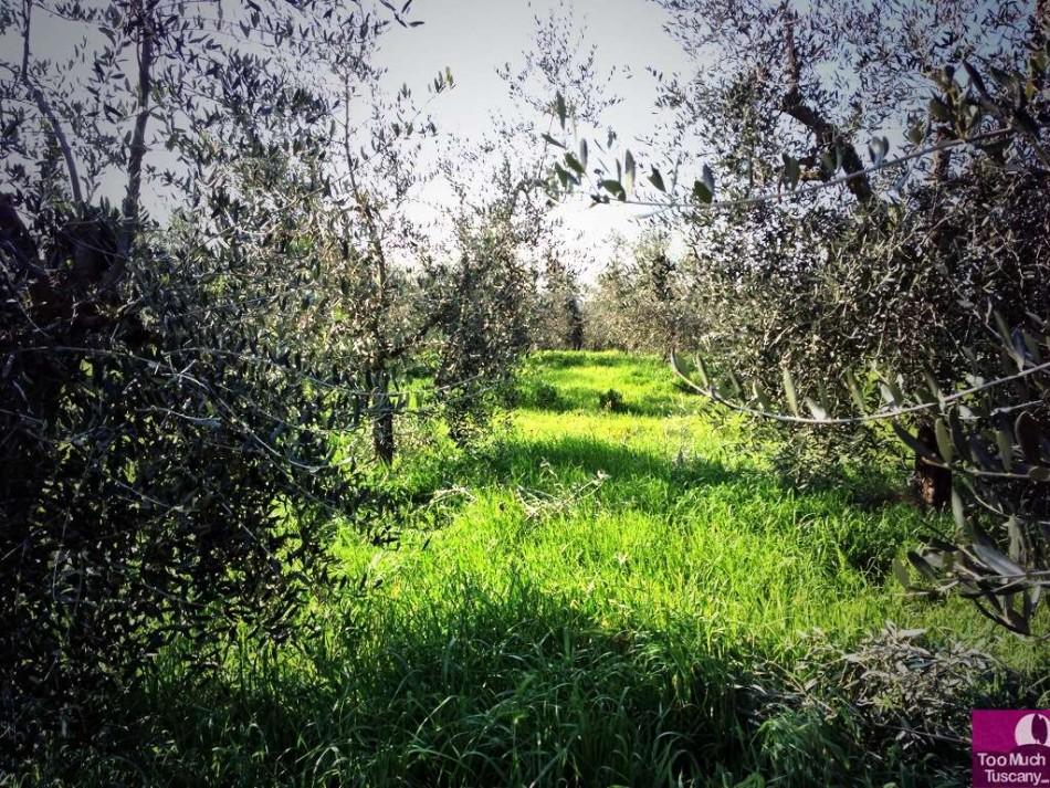 Olive grove in Reggello, Tuscany
