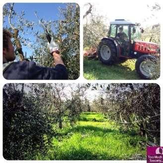 Laudemio olive groves