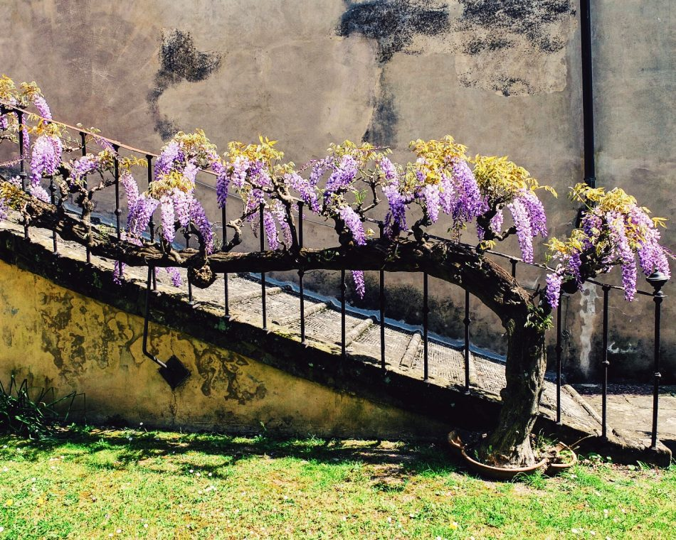 Beautiful wisteria - Villa di Lilliano