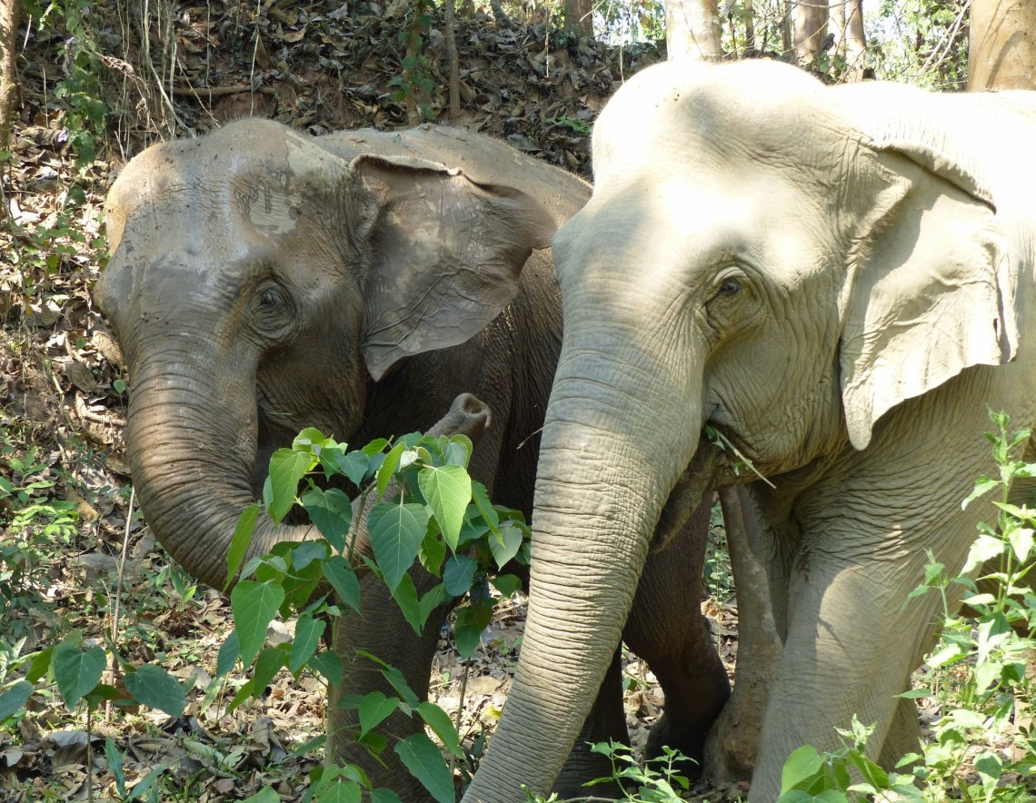 Two elephants among trees