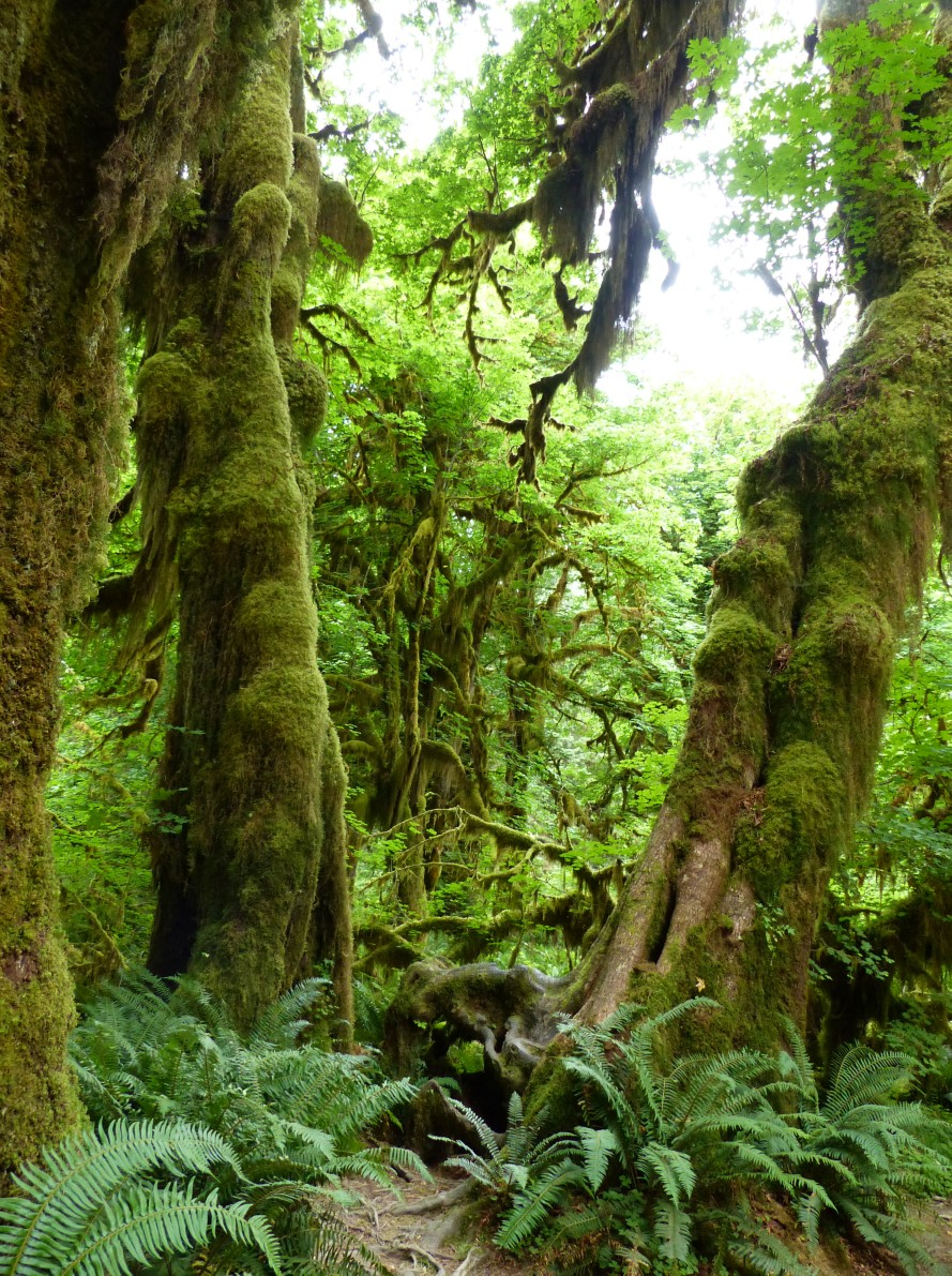 Tall trees covered in moss