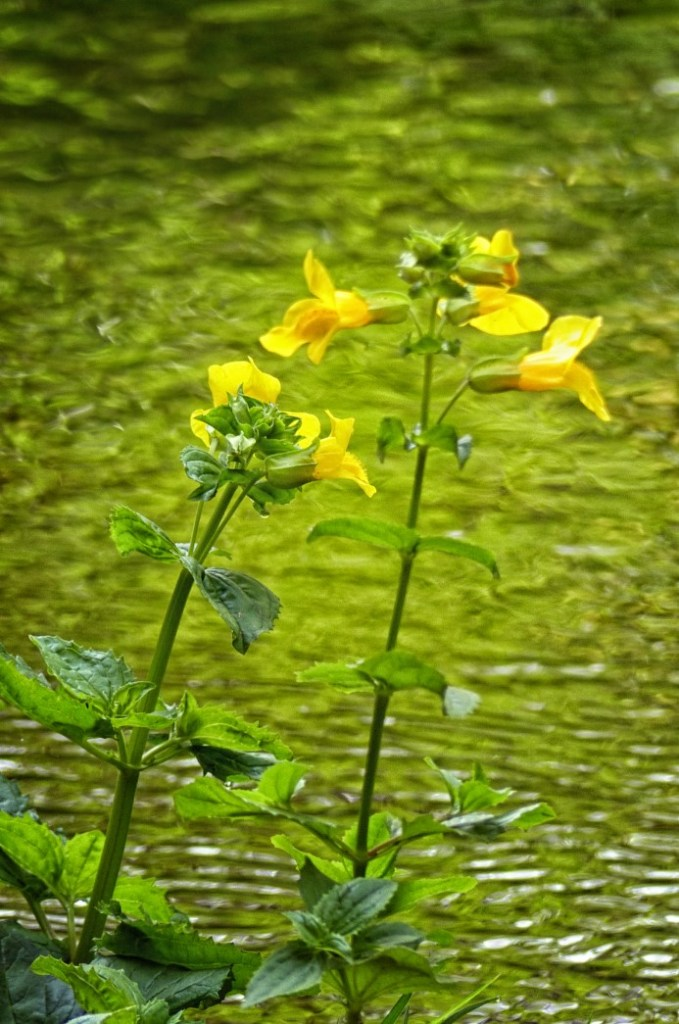 Yellow flowers by water