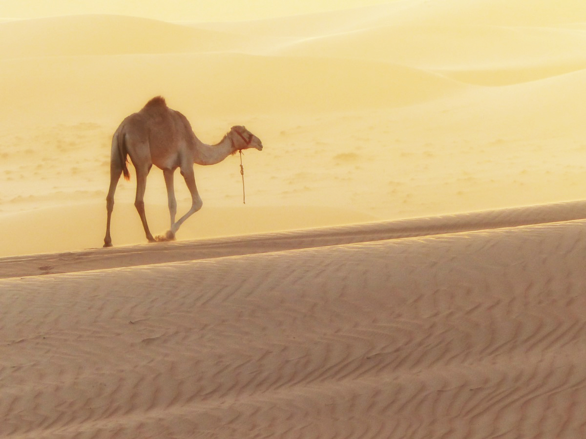 Camel on sand dunes