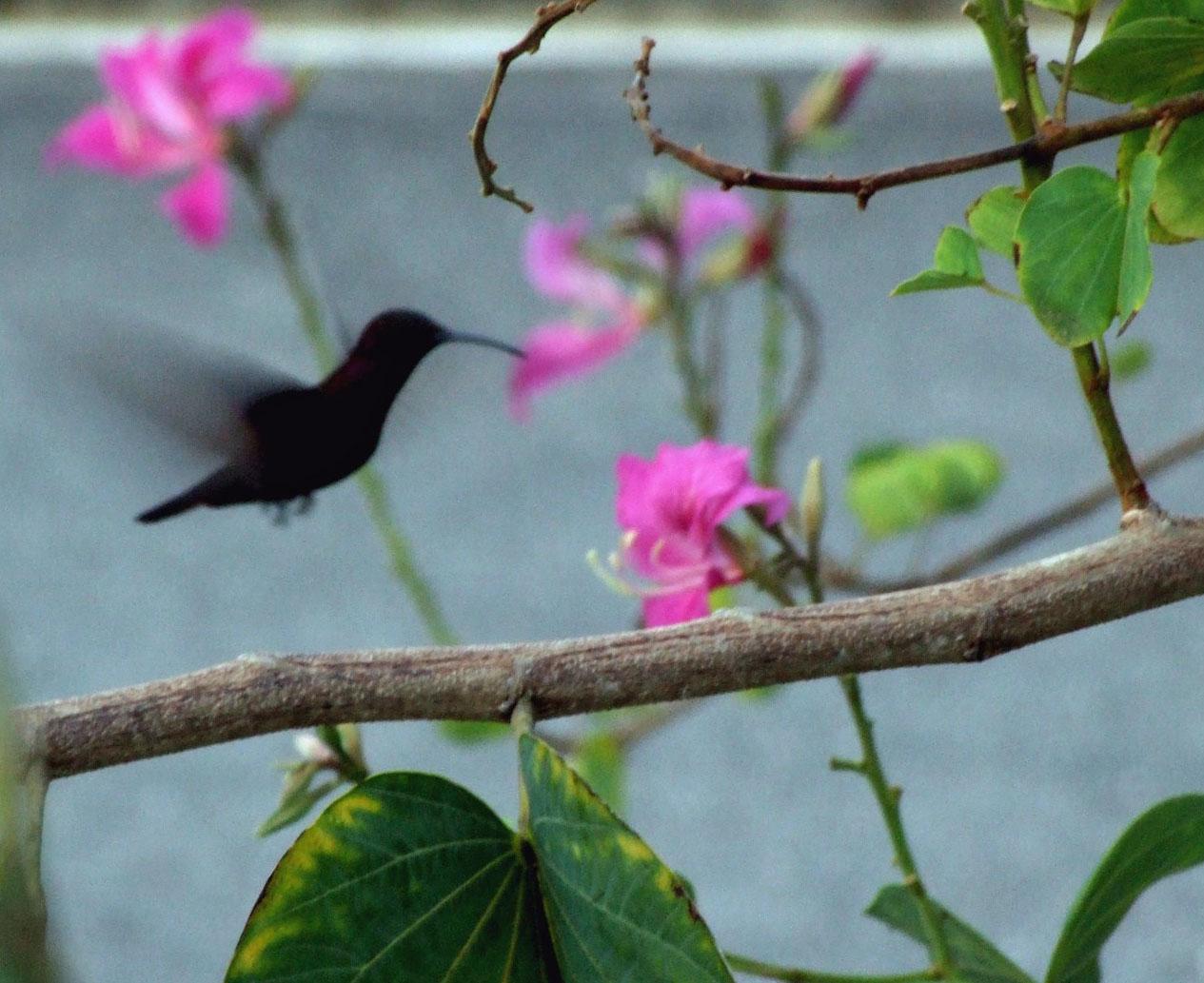 Hummingbird feeding at pink flower
