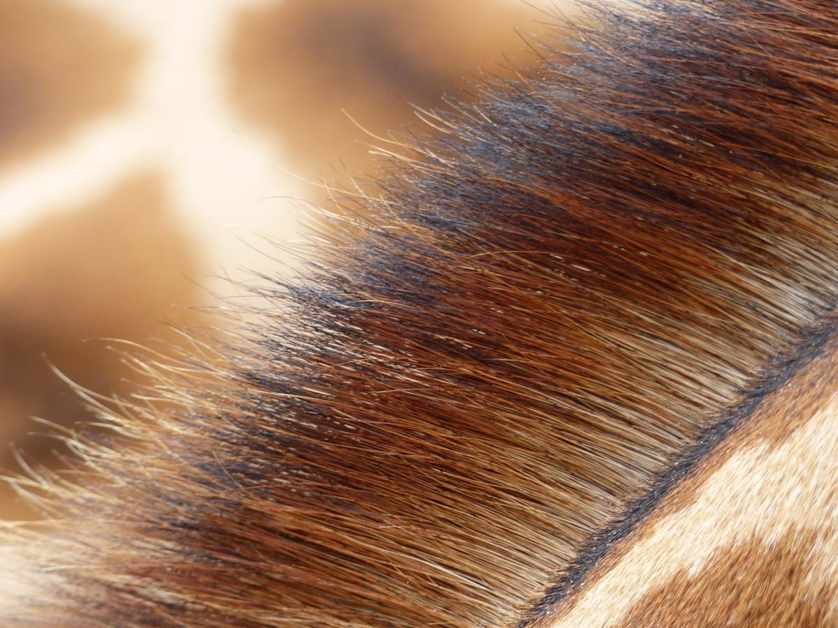 Close up of giraffe's mane