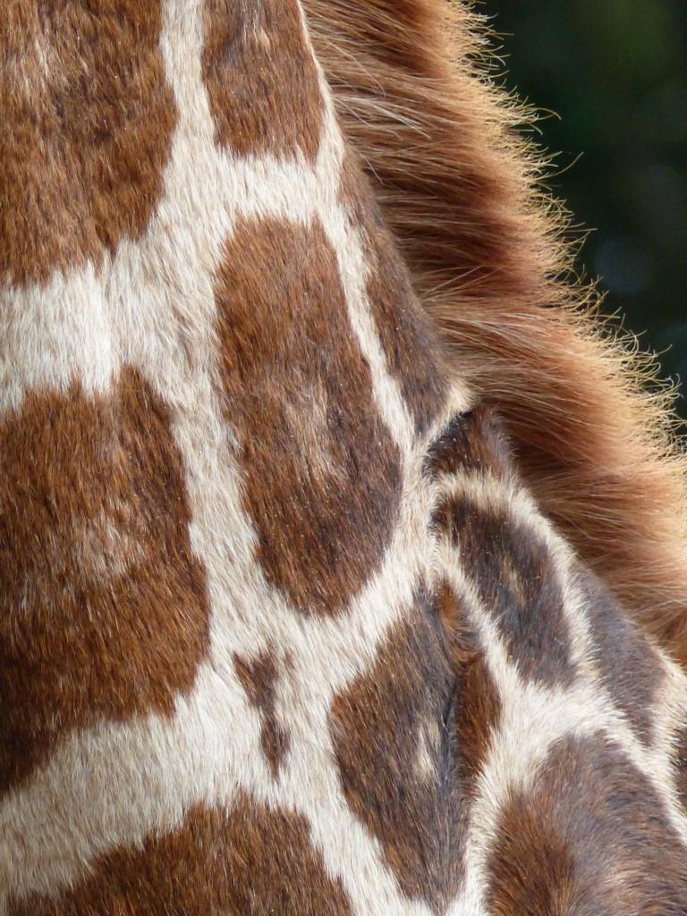 A giraffe's neck