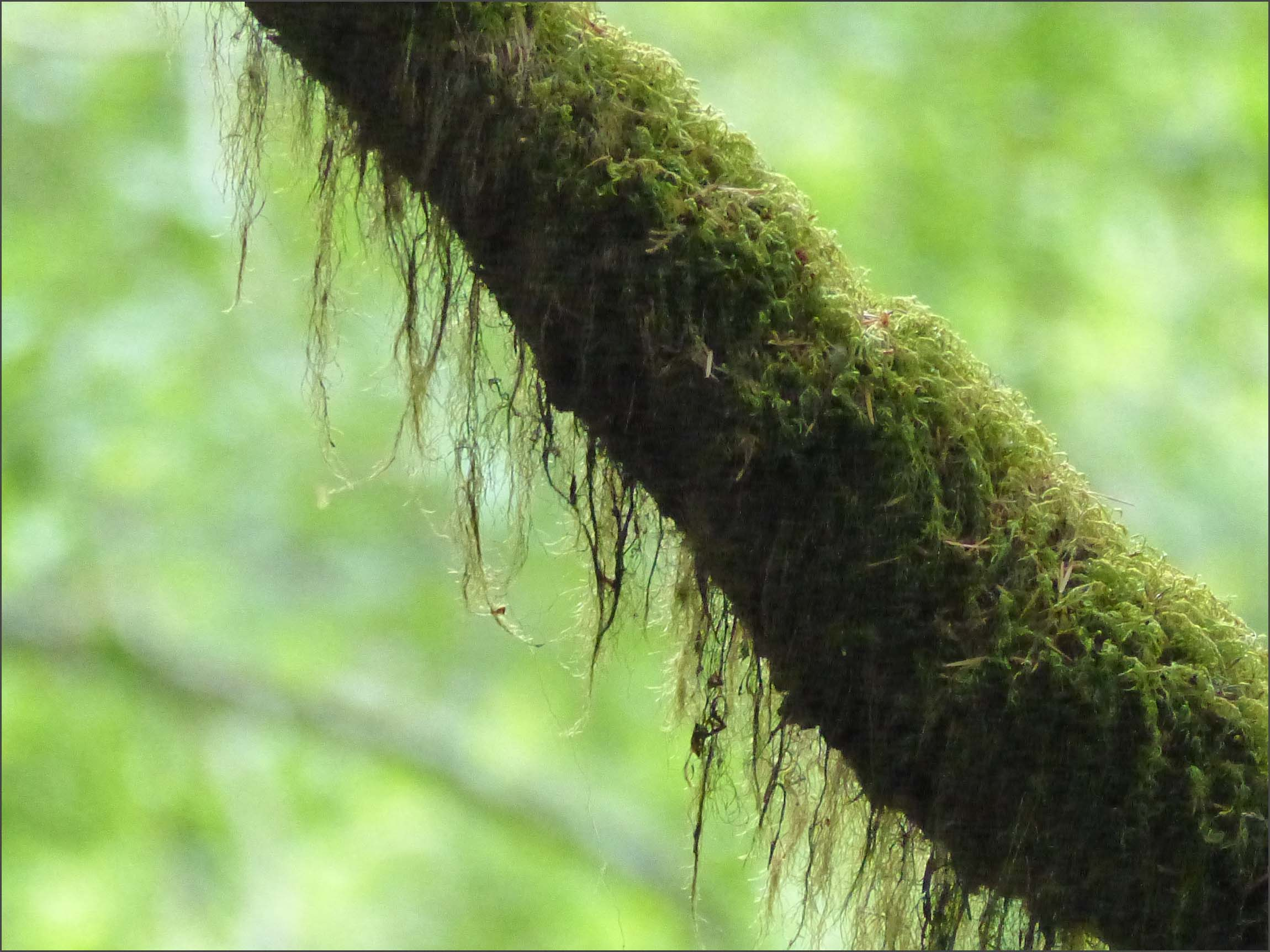 Tree branch draped with lichen