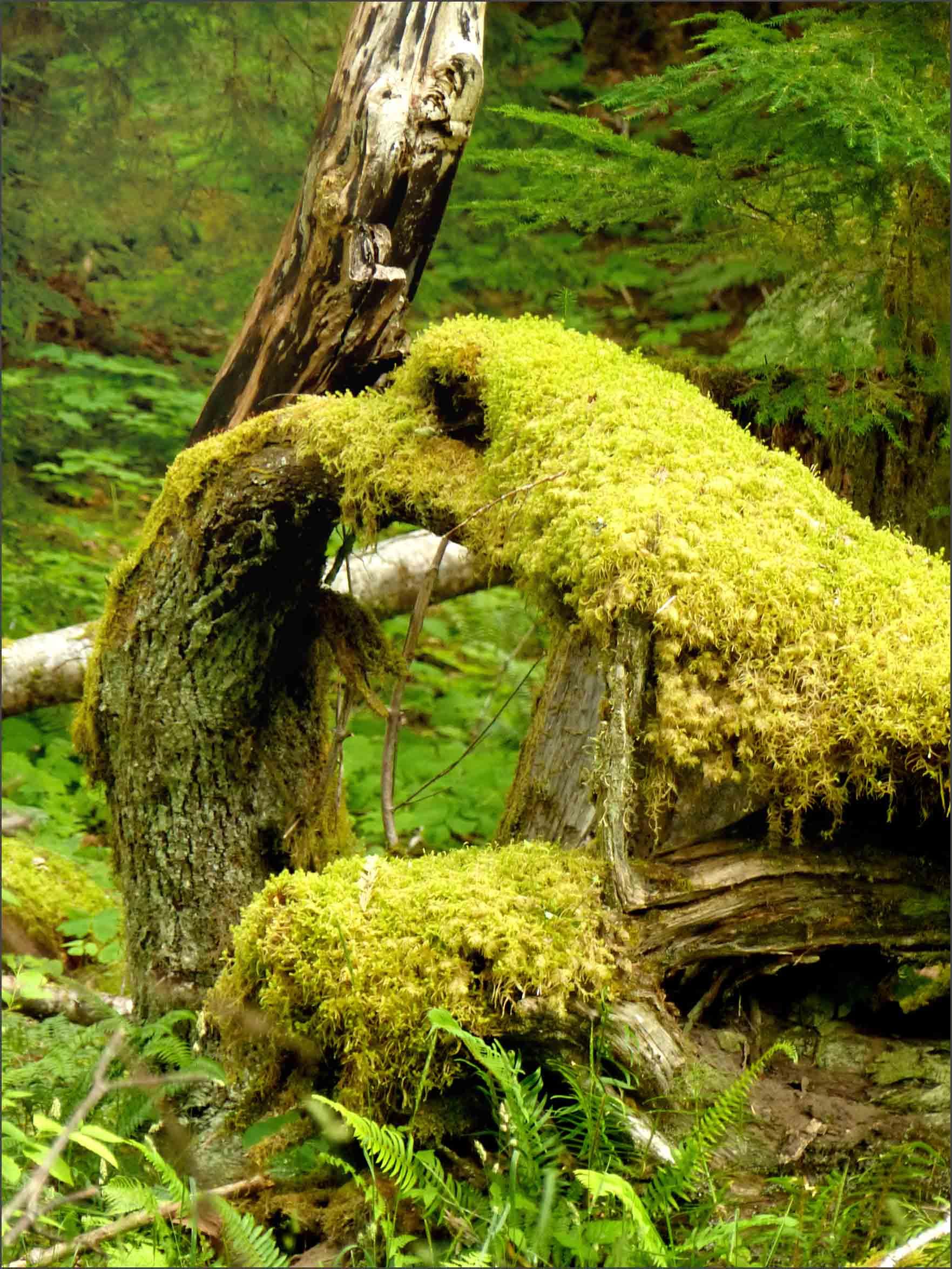 Tree draped with lichen