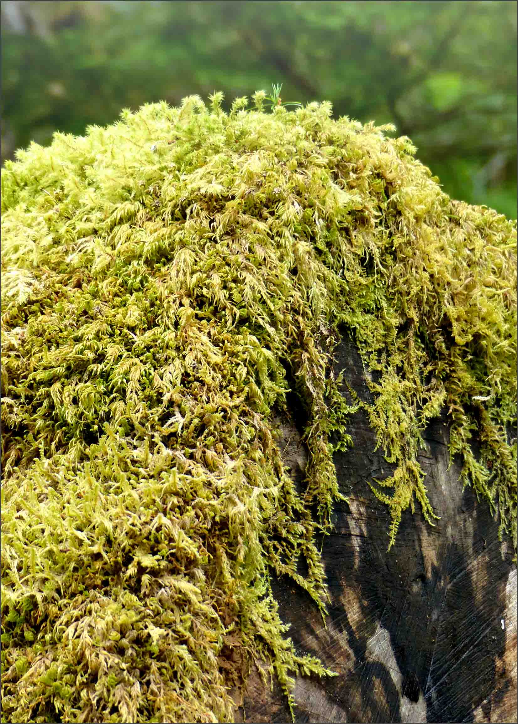 Tree trunk draped with lichen