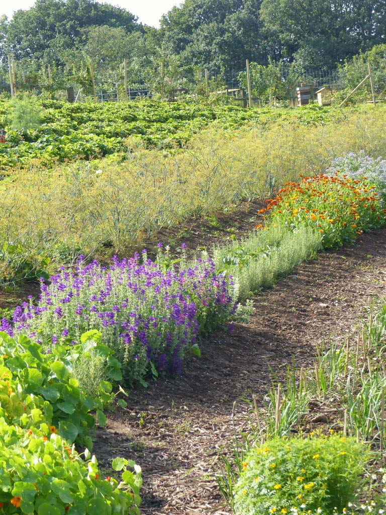 Vegetables and herbs growing in rows