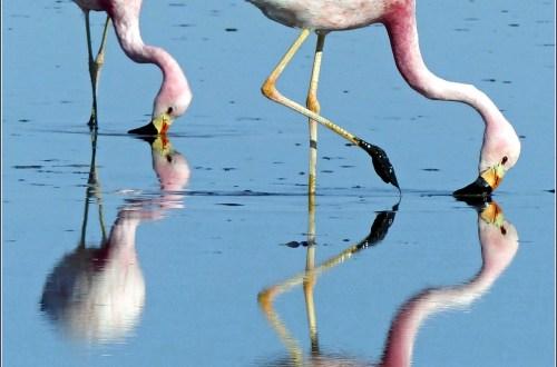 Two flamingos feeding