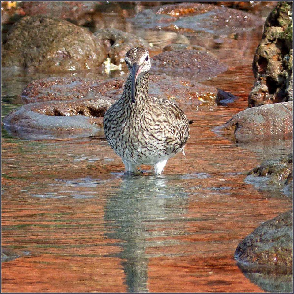 Brown bird in a rock pool
