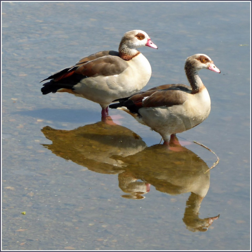 Two brown geese