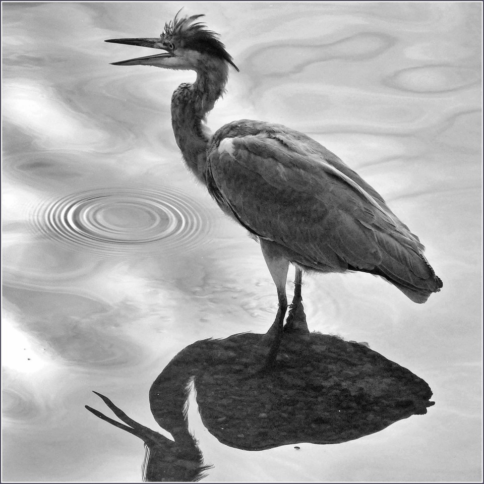 Black and white photo of a heron