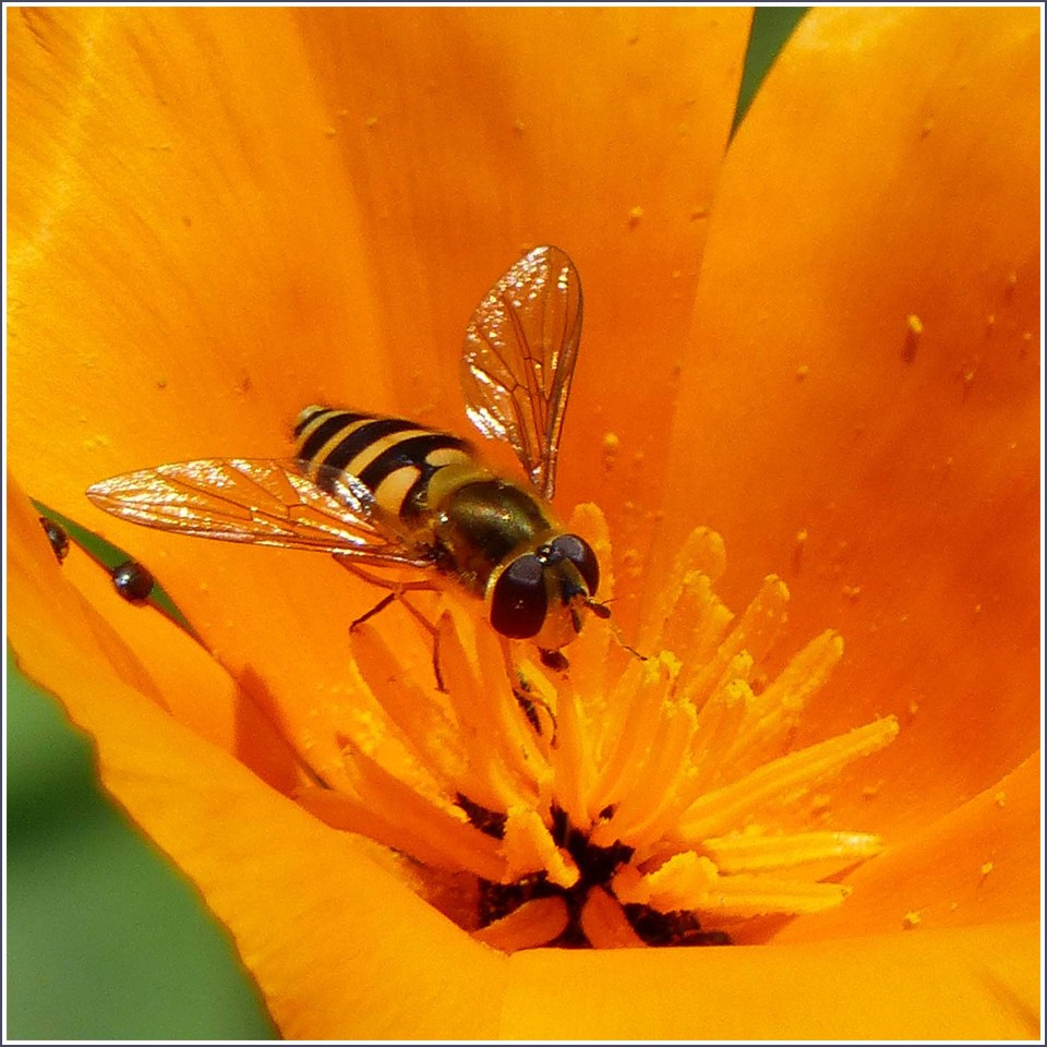 Close-up of orange flower and wasp