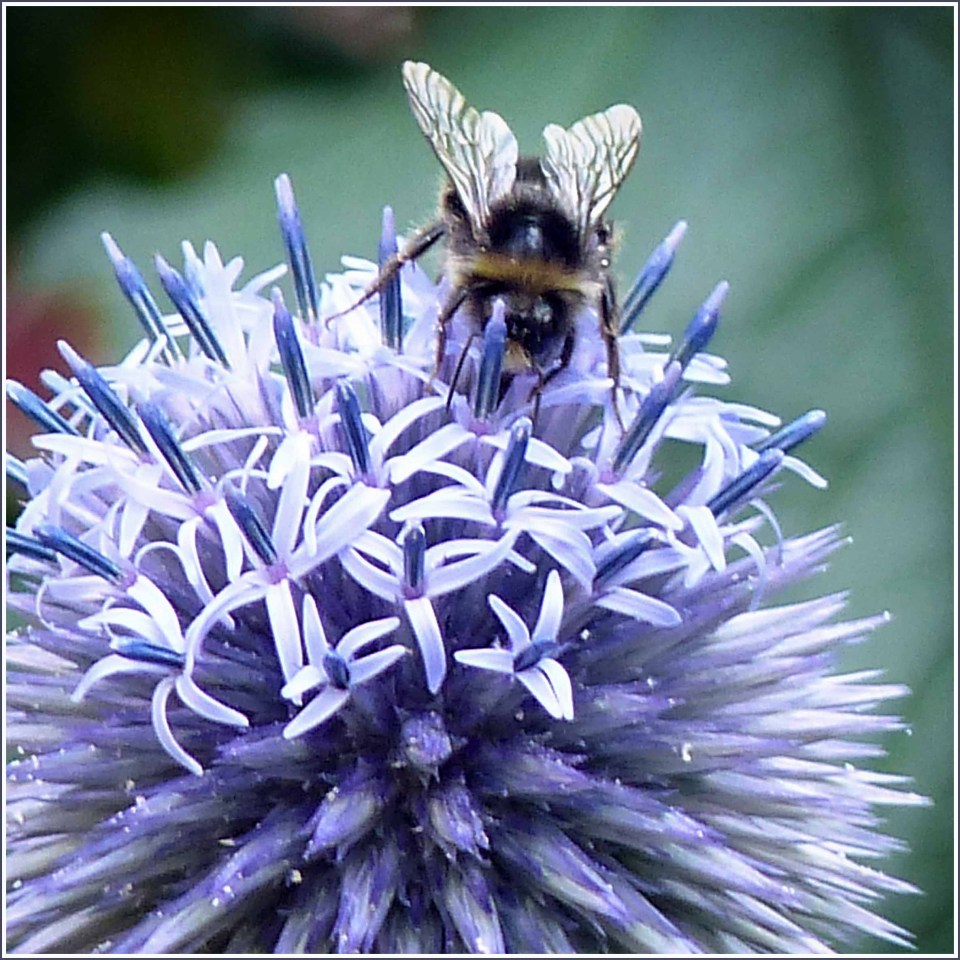 Close-up of blue spiky flowers and bee