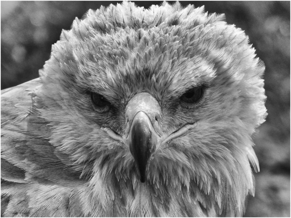 Face of a Tawny Eagle, monochrome