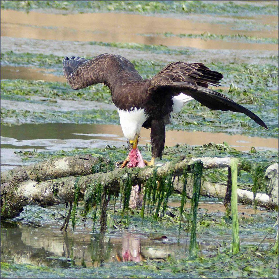Bald Eagle eating eel