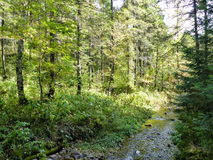Tall trees and small stream