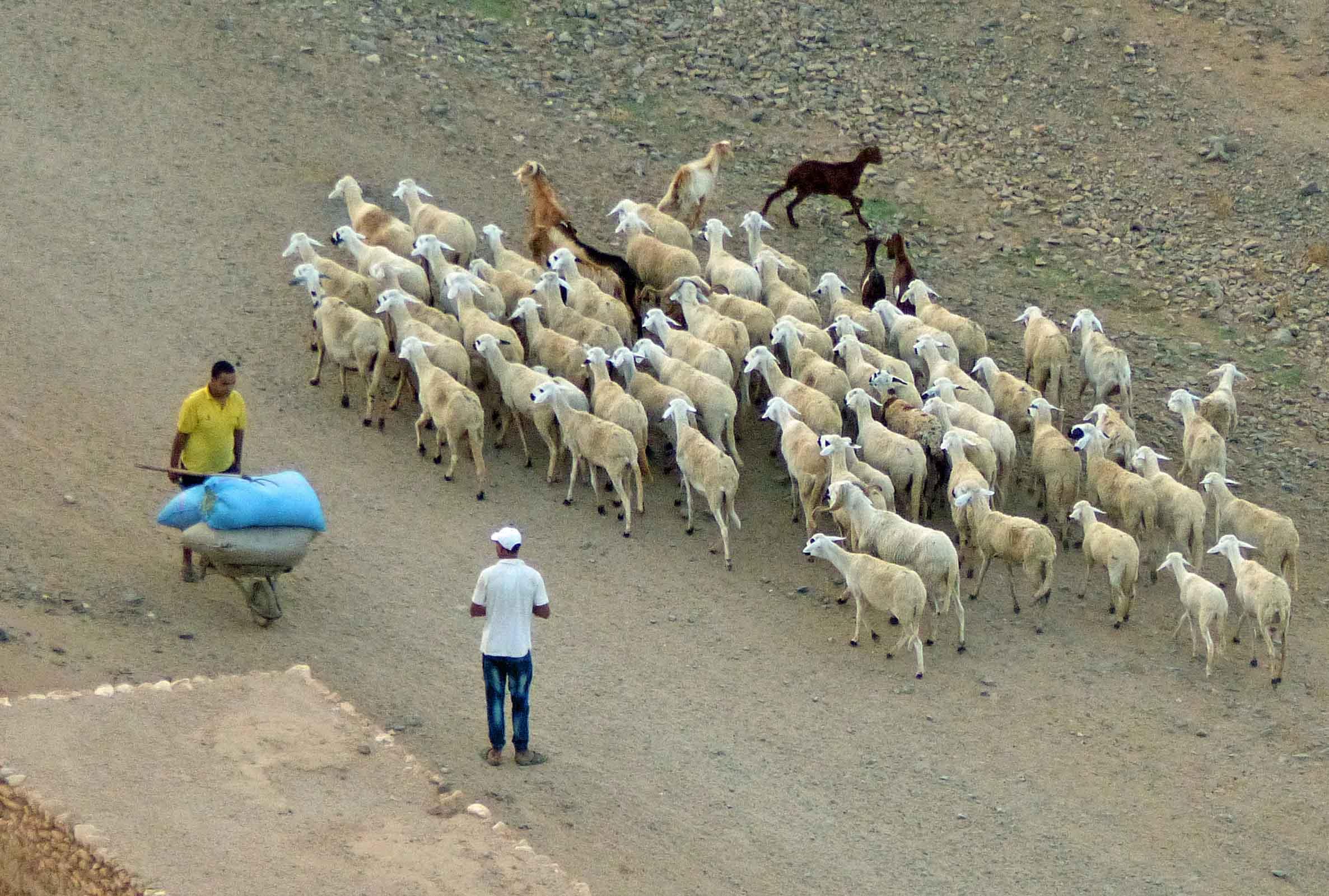 Aerial view of man herding sheep