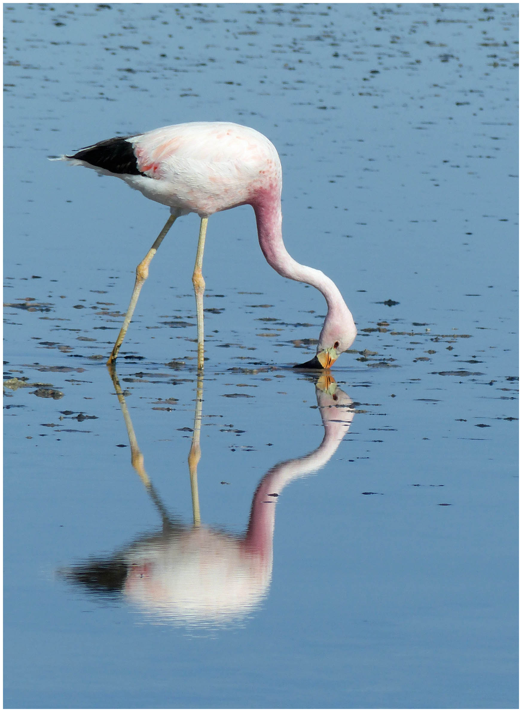 Flamingo feeding in blue water