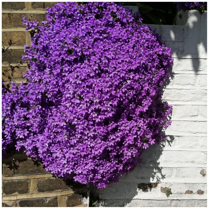 Small purple flowers growing on a wall