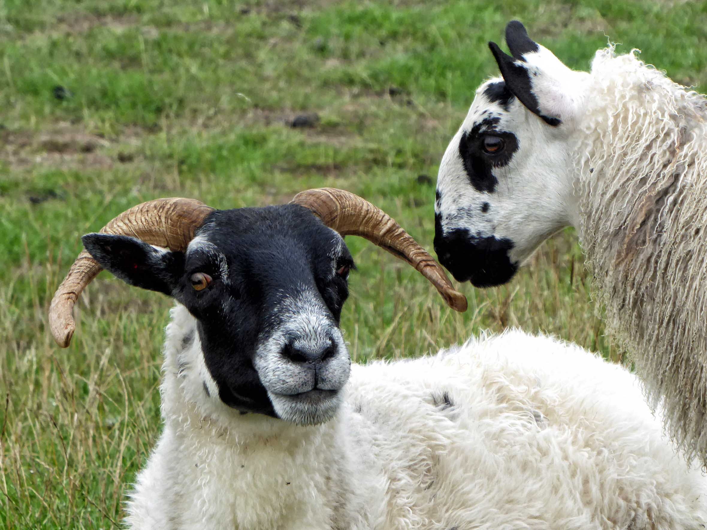 Two sheep, one with horns