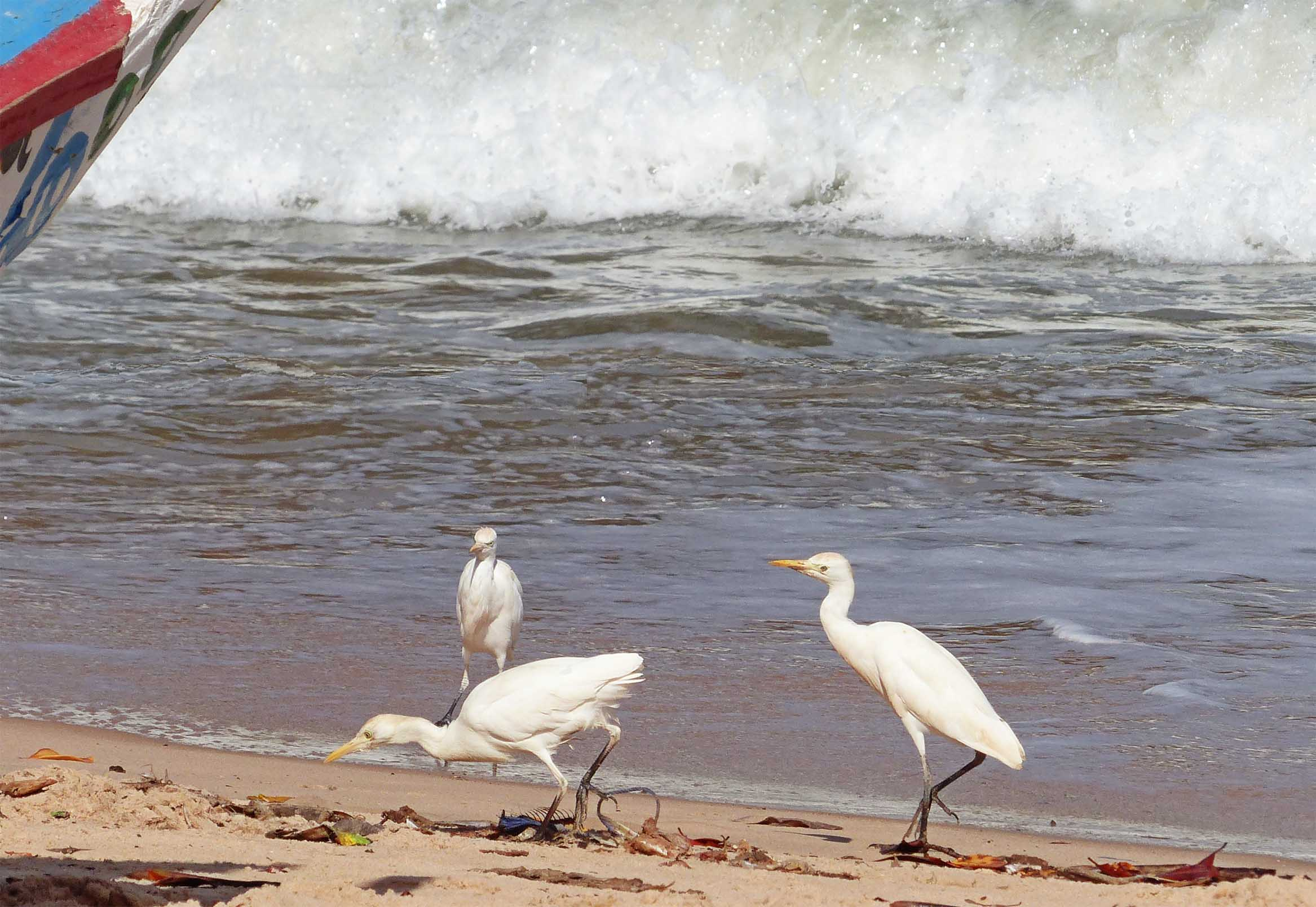 Three large white birds by the sea