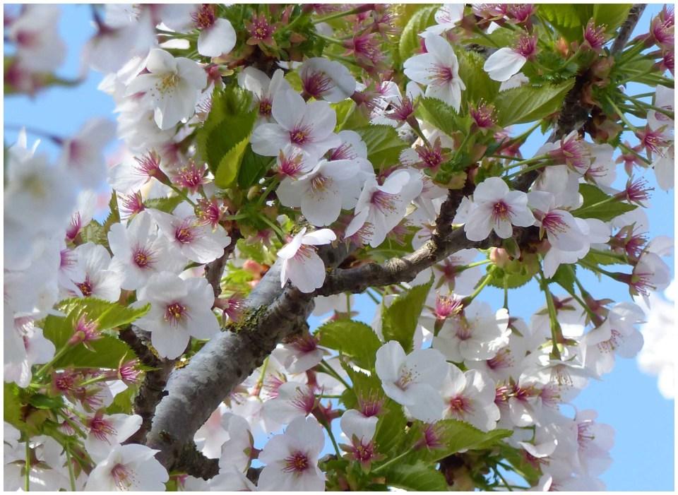 White blossom with dark centre