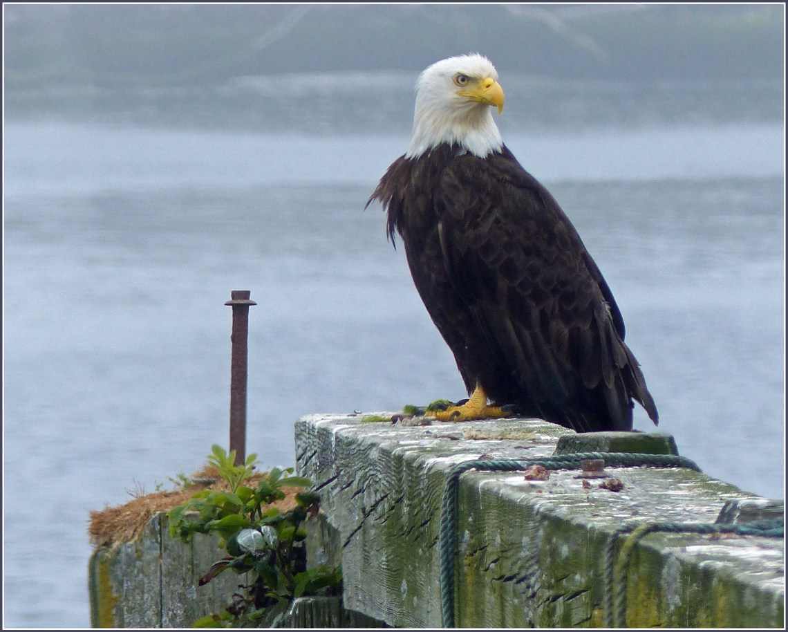 Bald Eagle on a wooden jetty