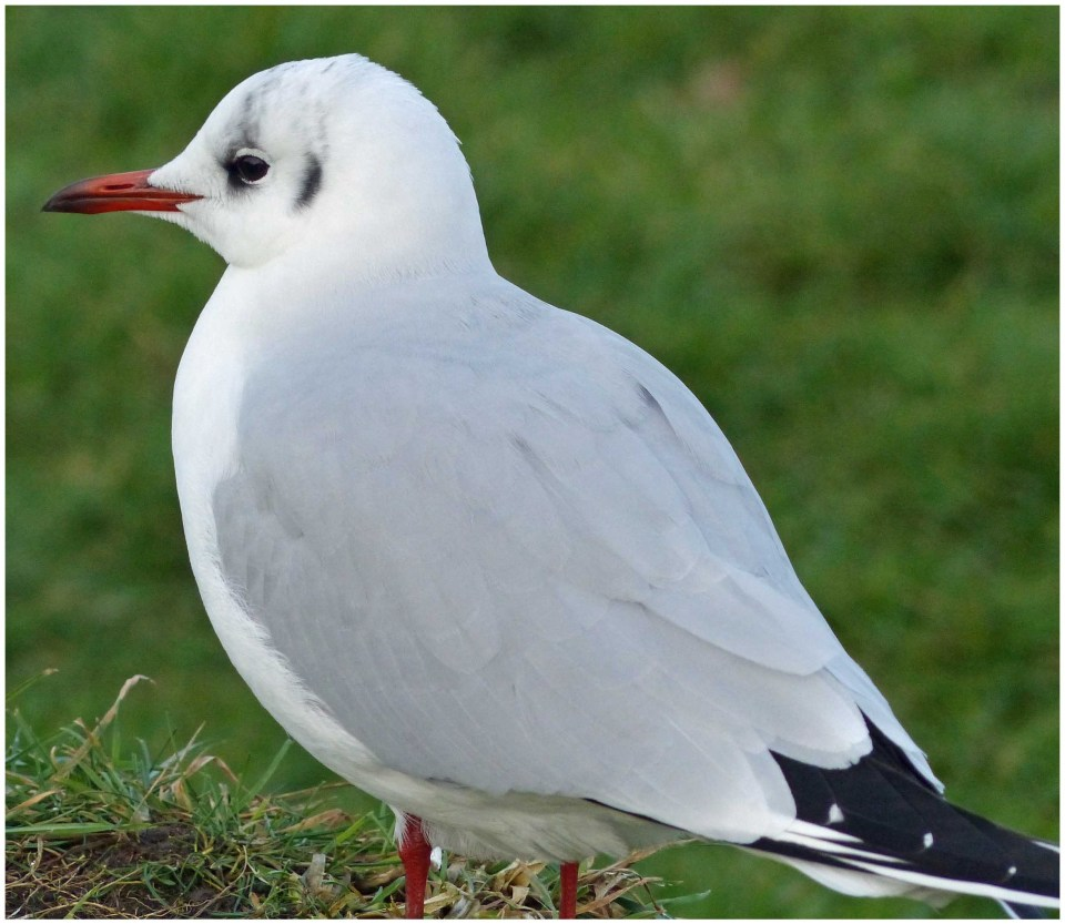 Attractive gull with grassy background