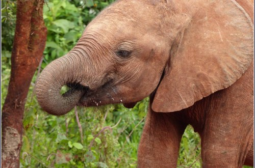 Elephant calf drinking