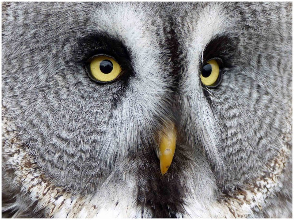 Face of a grey owl with yellow eyes and beak