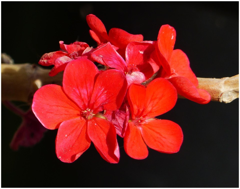 Red flowers against a dark background