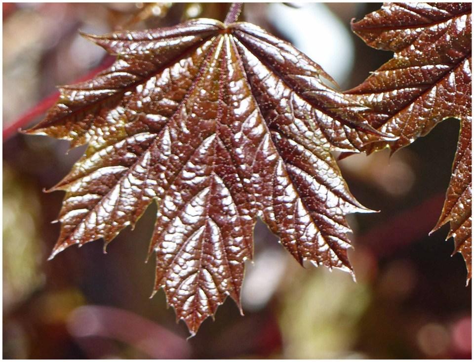 Reddish brown glossy leaf