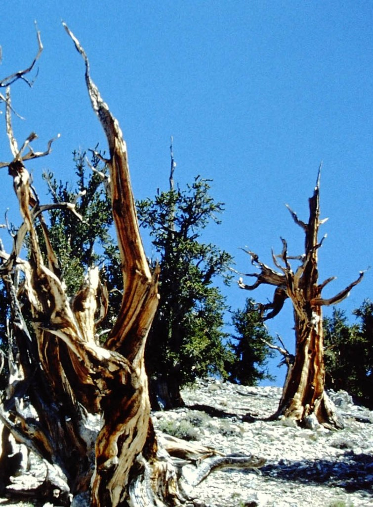 Dead-looking trees on rocky ground